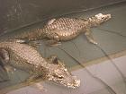 crocswellressmall