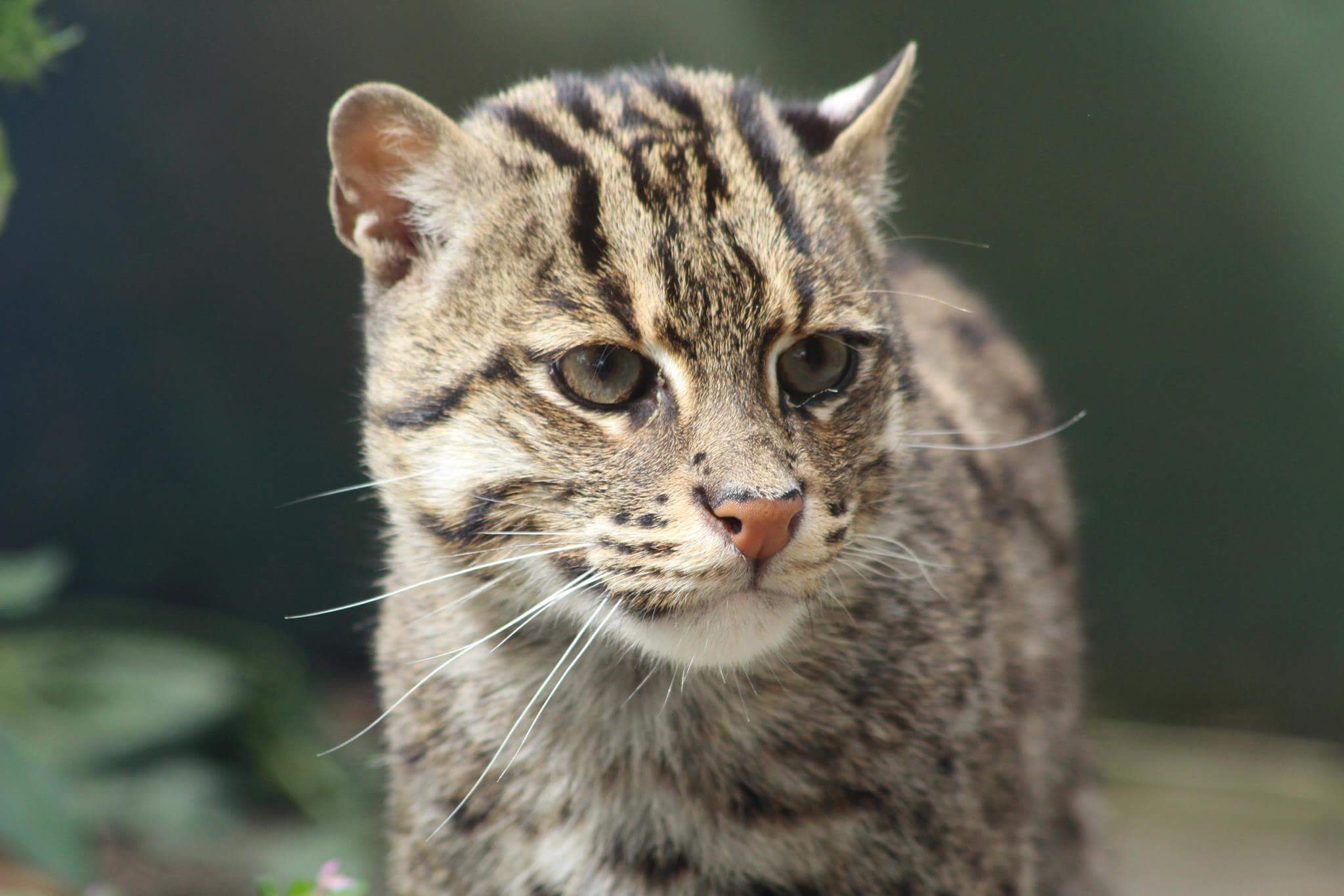 Fishing cat five sisters zoo for The fishing cat