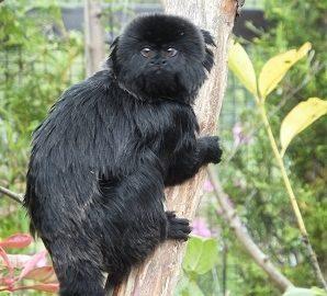 Goeldi's Monkey - Five Sisters Zoo