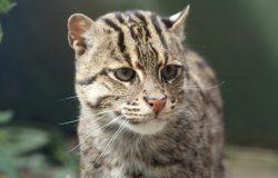FSZ Fishing cat Gary C image1