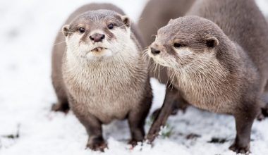 The animals at Five Sisters, West Lothian zoo enjoying the little snow  IN PIC................. Asian small clawed otters playing in the snow  (c) Wullie Marr/DEADLINE NEWS  For pic details, contact Wullie Marr........... 07989359845