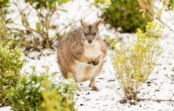 The animals at Five Sisters, West Lothian zoo enjoying the little snow  IN PIC................. Australian Parma wallaby in the snow.  (c) Wullie Marr/DEADLINE NEWS  For pic details, contact Wullie Marr........... 07989359845