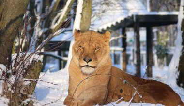 One of our stunning ex-circus lions